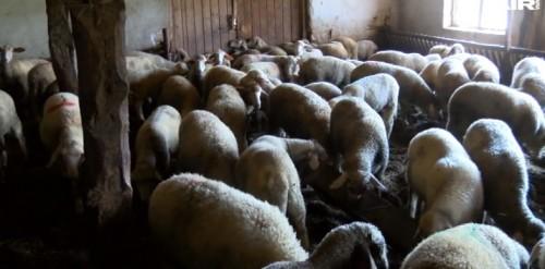 Габровски овцевъди ще дарят животни на колегите си от Странджа с избити стада